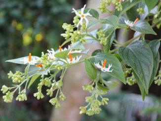 Parijat Leaves Side Effects