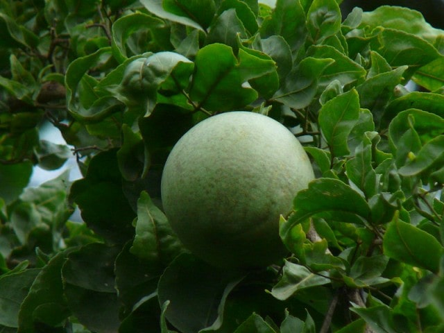 Bael fruit for diabetes